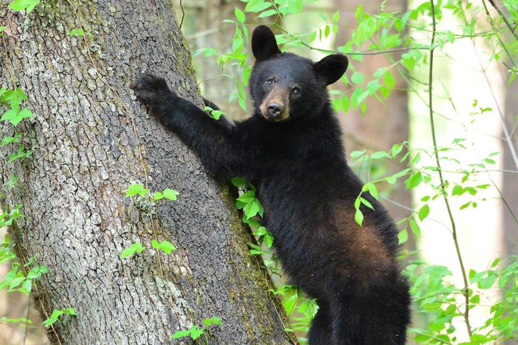 cades cove bears